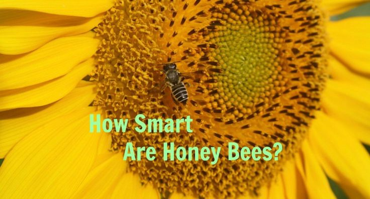 Honey bees are very smart despite having tiny brains. They can learn; they have good memories, and they can communicate using a unique symbolic language.