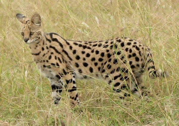 Serval Africano (Foto: Divulgação)