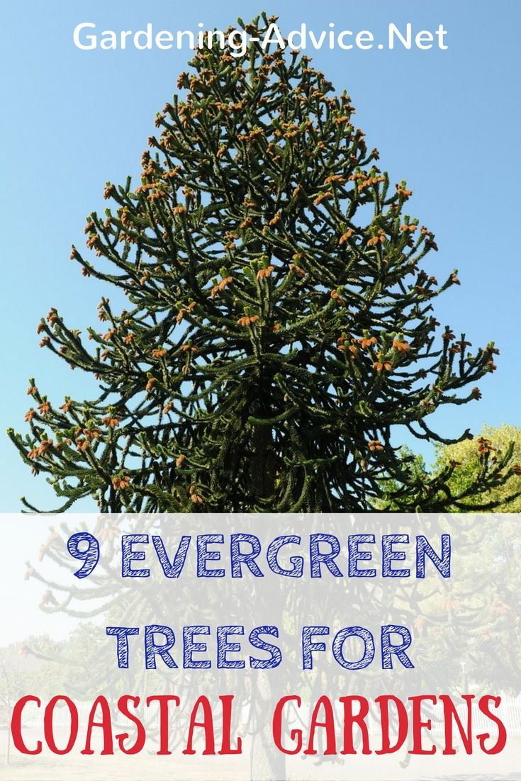 Suitable Types Of Evergreen Trees For Seaside Gardens Coastal