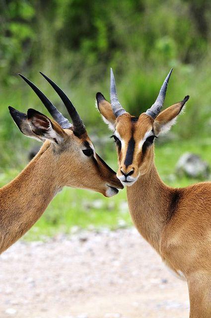 Black-faced impalas in Etosha, Namibia by Bob and Lynn on Flickr.