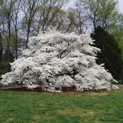 Pagoda Dogwood Tree