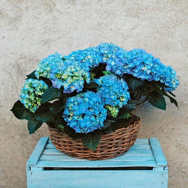 Un regalo elegante y decorativo, muy demandado en nuestra floristería. Con esta cesta de hortensias azules o rosas acertarás en tu envío. Envío a domicilio en Madrid. blue hydrangea