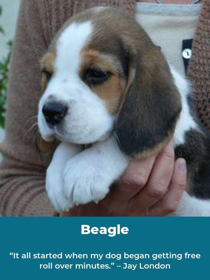 Beagle Beaglelovers Beagles Names Beagle Puppy Dog Breeds
