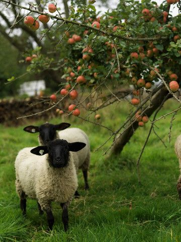 Sheep in an orchardSweets, Apples Orchards, The Farms, Lambs, Fruit Trees, Sheep, Country Life, Black, Animal