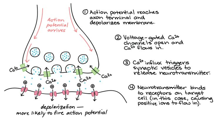 Image showing what happens when action potential arrives ...