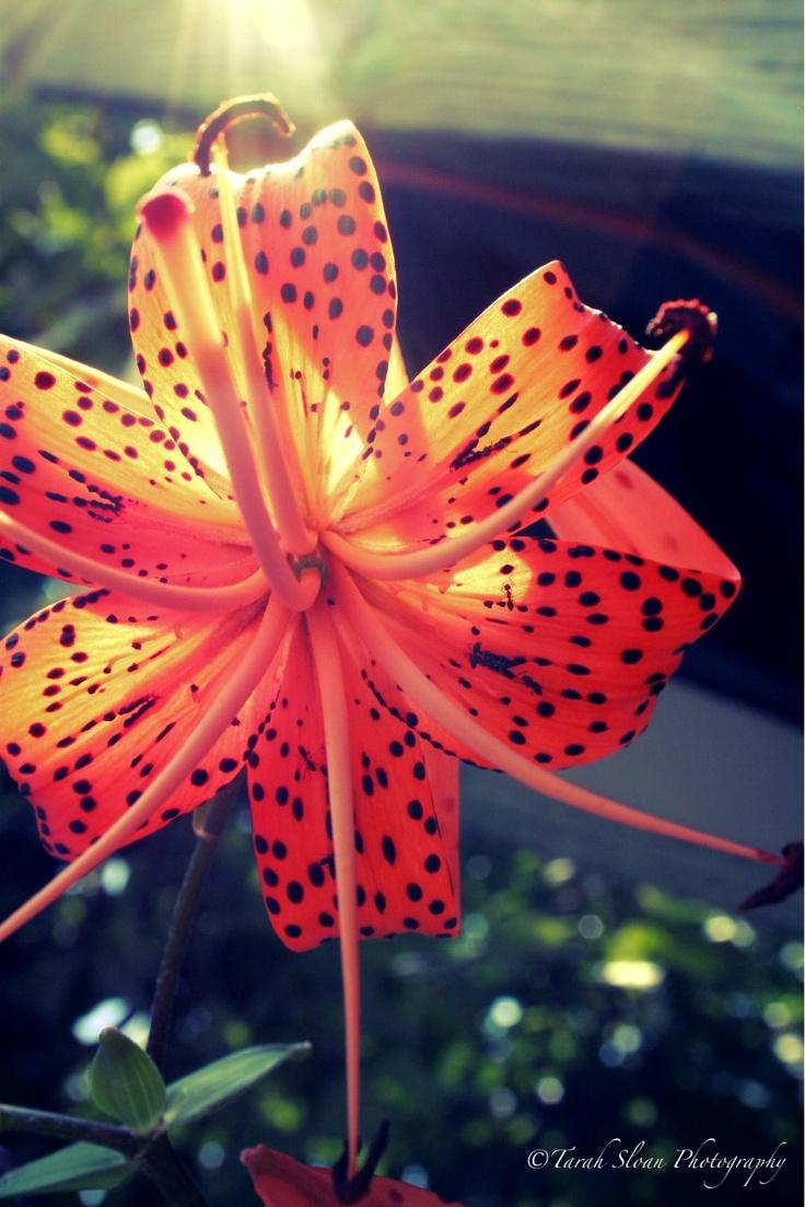 Tiger Lily <3 #Tigerlily #flower #tarahsloanphotography