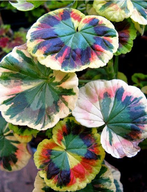 "Love these variegated Pelargoniums (""geraniums""), they look like watercolors...."