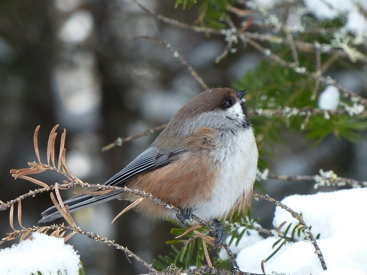 http://faaxaal.forumgratuit.ca/t3308-photo-d-oiseau-du-canada-mesange-a-tete-brune-parus-hudsonicus-poecile-hudsonicus-boreal-chickadee