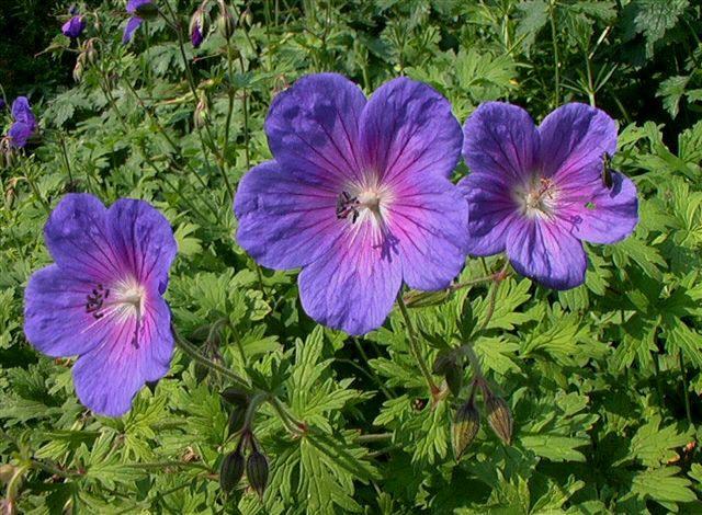 geranium himalayense - Google-Suche