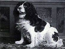 The Duke of Norfolk bread these dogs, what we know today as The English Springer Spaniel