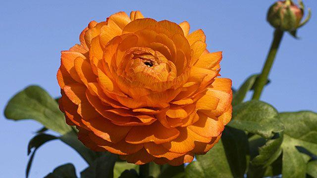 Ranunkel Pflege Der Dekorativen Gartenblume Blumen Stauden Ranunkel Blumen