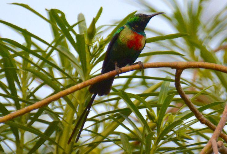 Beautiful sunbird in Georgetown, Gambia. #BeautifulSunbird #LanghaletPragtsolfugl #Janjanbureh #Georgetown #Gambia #SpiesRejser #HenryRasmussen