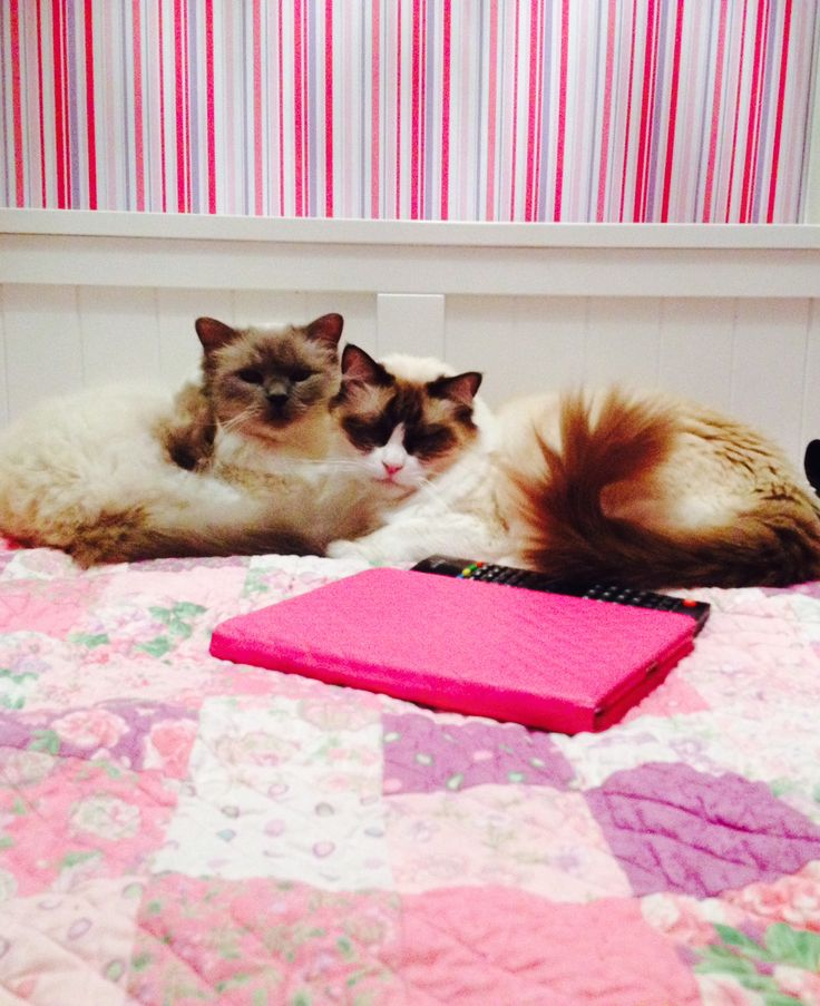 Moda A litte Romance completed quilt. Milo the Ragdoll and Carlos the Birman.