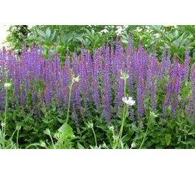 Småblomstret salvie. Salvia nemerosa, Violet. Flerårig. Sås inde januar-juli og udplantes maj-august. Kan også sås direkte på voksestedet i maj-juli. Trives i sol.