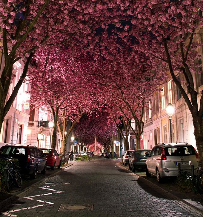 The Cool Hunter - Lifestyle: Cherries Blossoms, Bonn Germany, Walks, Trees Tunnel, Pink Trees, Pink Blossoms, Blossoms Trees, Place, Canopies