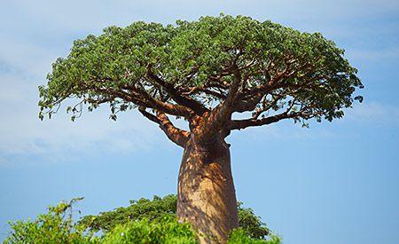 """(Zentrum der Gesundheit) – Baobab – so heisst der mächtige Affenbrotbaum der afrikanischen Savannen. Von den Afrikanern werden fast alle Teile des Baobabs seit Jahrhunderten zur Herstellung traditioneller Arzneimittel genutzt. Die Früchte des Zauberbaums"""" sind echte Superfoods, reich an Vitamin C, Eisen, antioxidativ wirksamen Polyphenolen und vielen weiteren Vitalstoffen. Zudem fanden Wissenschaftler heraus, dass die Einnahme des Baobab-Pulvers präbiotisch wirkt und somit Darmbeschwerden…"""