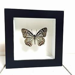Vlinder in lijst Hestina Assimilis. In deze lijst zit een Hestina Assimilis vlinder. Deze contrastrijke vlinder is afkomstig uit Azië en is vooral in China thuis.