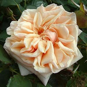 'Adam' Rose; 1833, repeat flowering Tea Rose, orangeish, not very thorny, scented, attracts bees, not tolerant of any shade.