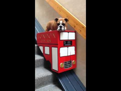 """Lazy Bulldog Uses Cute Stair """"Bus"""" To Get Down The Stairs ..."""