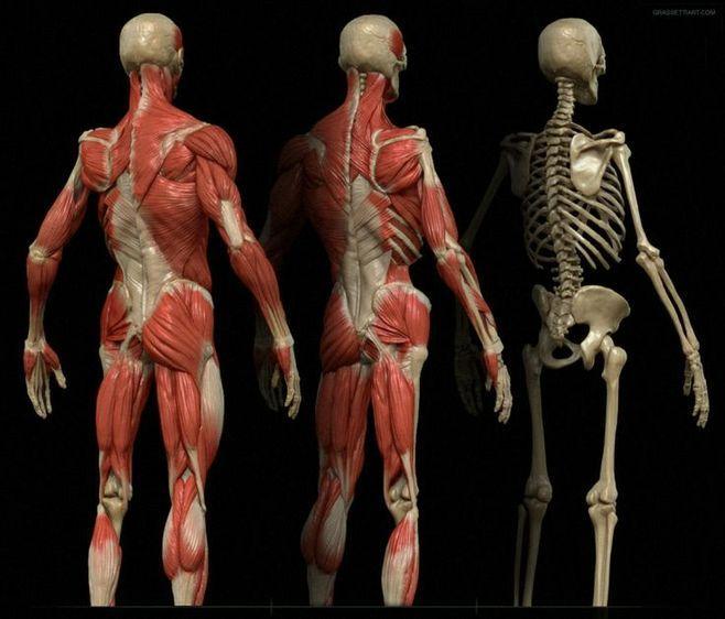 122 best ecorché images on pinterest | human anatomy, skeletons, Skeleton