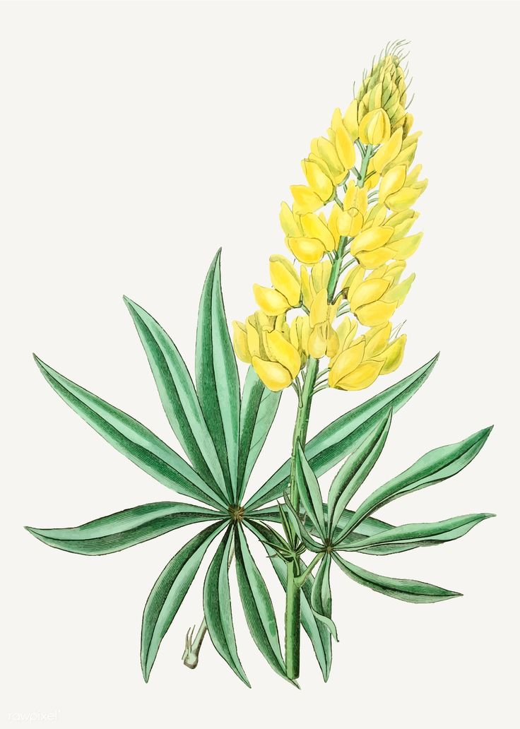 Vintage yellow perennial lupine flower branch for decoration | free image by raw… #New Flower