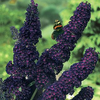 Black Knight Butterfly Bush. Zones 5-9. Full sun to part shade. Already purchased this one!!! Can't wait to plant it when my Zone is ready! Happy Gardening!!!!!