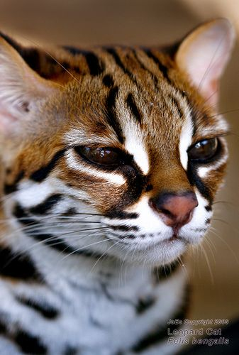 The leopard cat (Prionailurus bengalensis) is a small wild cat of South and East Asia. Since 2002 it has been listed as Least Concern by IUCN as it is widely distributed but threatened by habitat loss and hunting in parts of its range. There are twelve leopard cat subspecies, which differ widely in appearance. The leopard cat's name is derived from the leopard-like spots prevalent in all subspecies, but its relation to the leopard is distant.