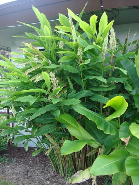 Mature greater galangal plant