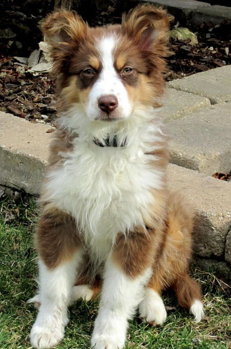 australian shepherd | Kiva the Australian Shepherd | Puppies | Daily Puppy