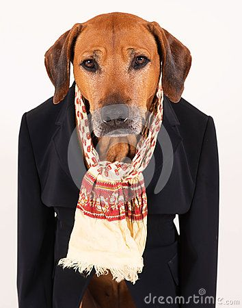 An adorable old Rhodesian Ridgeback hound dog in a black suit in front of white background. The seven years old male is looking straight into the camera. He has a funny expression in his face. Bright brown eyes looking awake. He is wearing a black suit and a scarf.