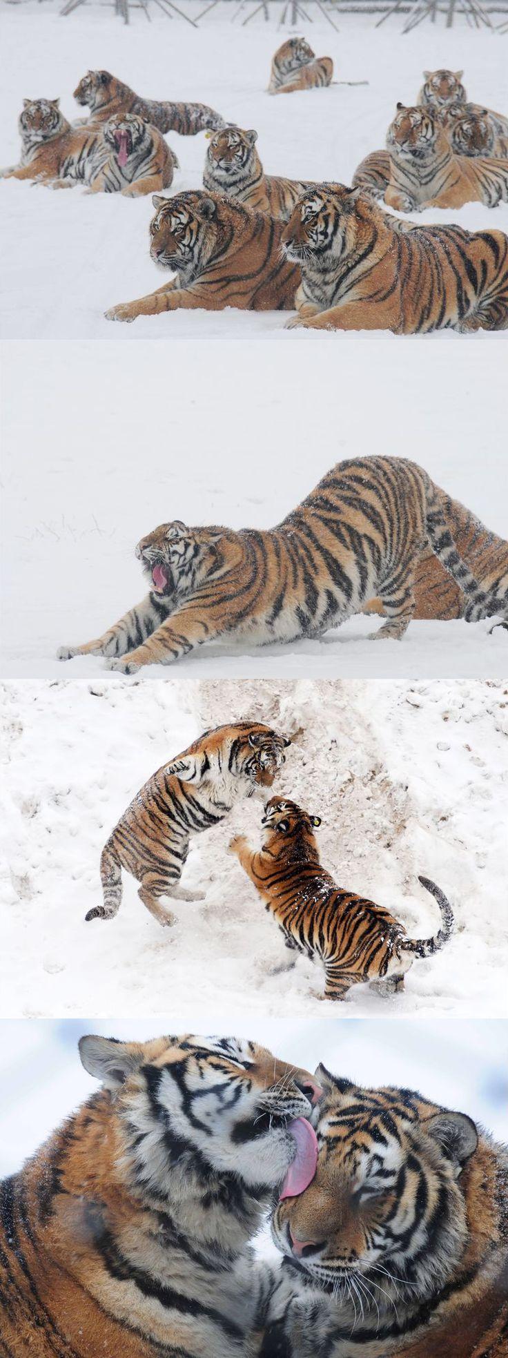 La majesté des tigres de Sibérie - C'était le roi de la Primorie, vaste région aujourd'hui administrée par la Russie qui a la particularité d'être une jungle froide. Le tigre dit de Sibérie, ou tigre de l'Amour, du nom du fleuve gigantesque qui coupe la région en deux, est l'un des plus gros félins au monde - et hélas l'un des plus en danger - on en compterait entre 500 et 600 spécimen, repartis entre la Chine, la Russie et la péninsule coréenne.