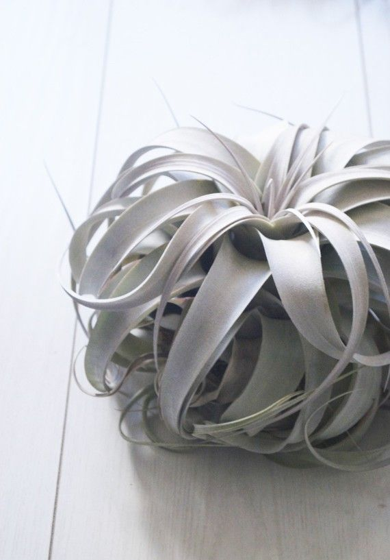 toHOLD  Xerographica Tillandsia Air Plant // Large Airplant
