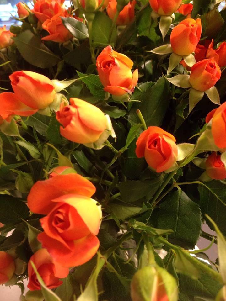 Orange greinroser - Babe