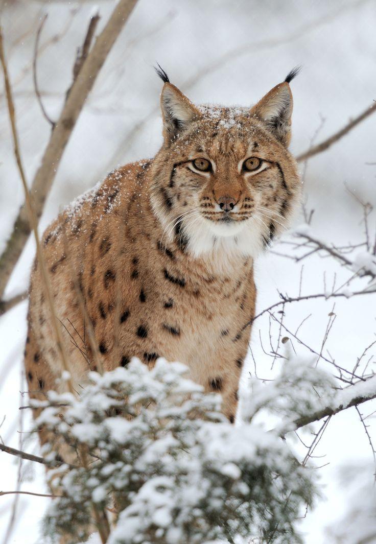 Ryś eurazjatycki (Lynx lynx) - opis gatunku