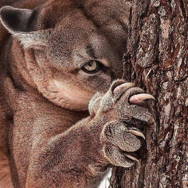 Mountain Lion tree hugger