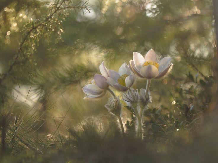 Vuoden Luontokuva 2014 / Kangasvuokko. Markku Miettinen #nature #finland