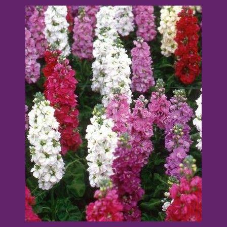 Fiala letní směs Miracle - Matthiola incana - semena - 0,1 gr