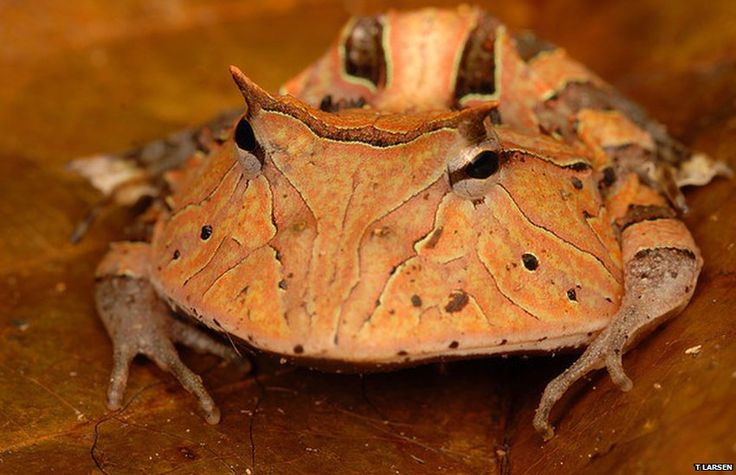 The Pac-Man frog (Ceratophrys cornuta) is a voracious sit-and-wait predator with an exceptionally wide mouth. It is able to swallow prey that is nearly as large as itself, including birds, mice and other frogs.