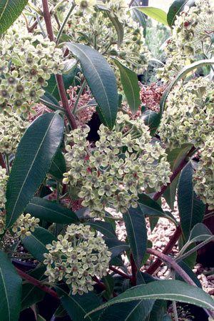 Lemon Myrtle Tree