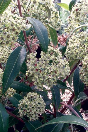 Lemon Myrtle- WLEMY photo