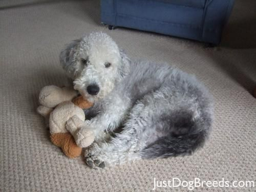Bedlington Terrier...so cute...like a sheep!