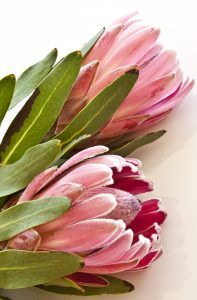 Vertical garden limited edition series : 'pink ice' protea