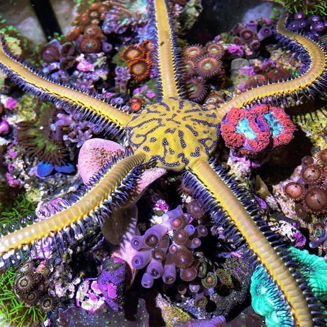 This starfish is famous now @new0cean #polyplab #reefpro