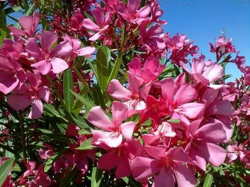 oleander ploleander plant the toxic desert shrub. Black Bedroom Furniture Sets. Home Design Ideas