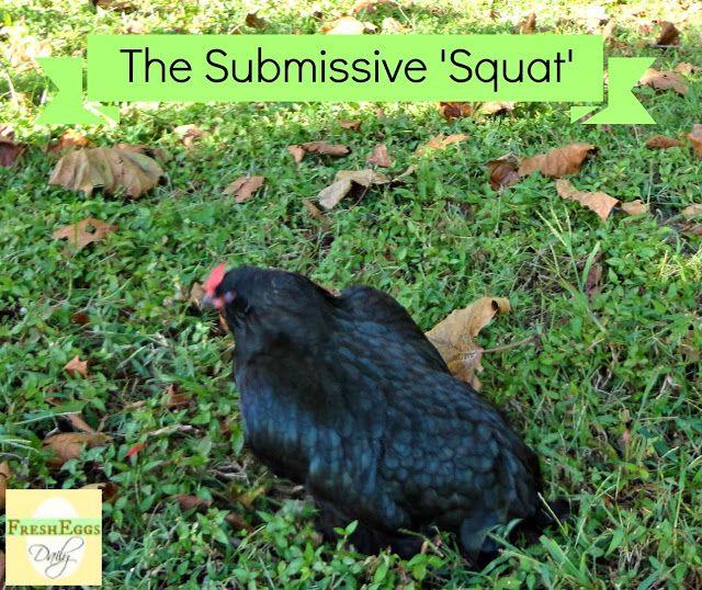 Fresh Eggs Daily®: Understanding Chicken Behavior - The Submissive Squat