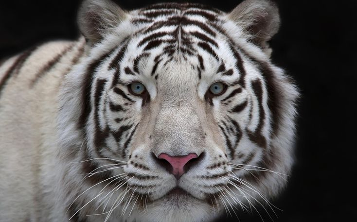 Белый тигр — это разновидность бенгальского тигра, обитающего в Южной Азии. В дикой природе тигры этой расцветки больше не встречаются и живут только в неволе. Все ныне существующие белые тигры — потомки одного, пойманного охотниками в Индии в 1951 году.