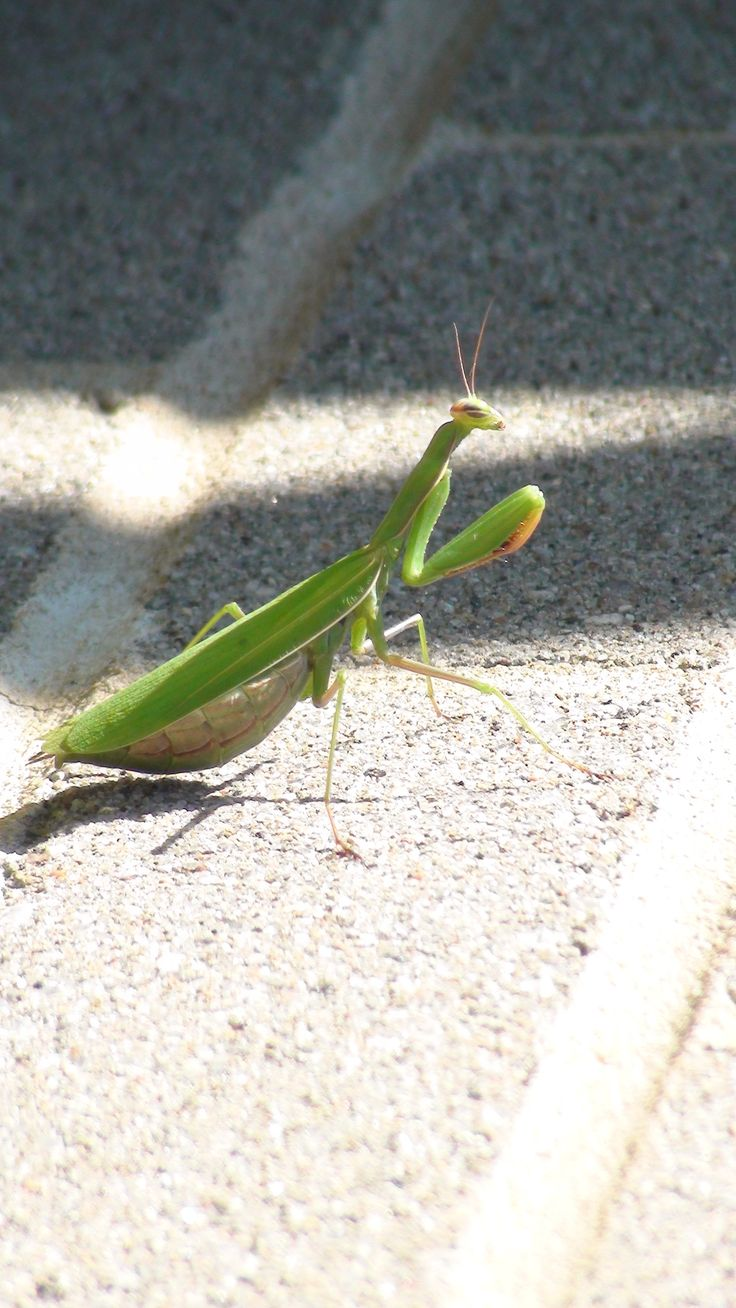 Praying mantis getting its tan on.