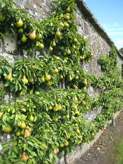 Espaliered Pear Tree, Clovelly Court Garden, a privately owned country house situated in Clovelly, Devon, UK