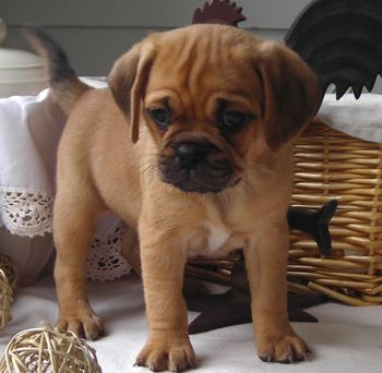 puggle puppies for Sale *Like 3 Million Animals being EUTHANIZED each year isn't enough?! GET A JOB!!!