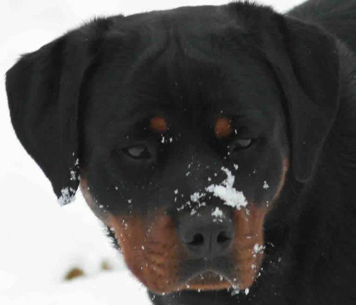 Ballardhaus Rottweilers | Rottweiler Breeders | Rottweiler Puppies ...